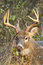 Stock Image : Whitetail Deer Buck Rut