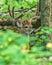 Stock Image : Whitetail Deer Buck In Velvet