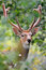 Stock Image : Whitetail deer
