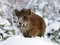Stock Image : Wild-boar