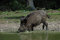 Stock Image : Wild boar is drinking