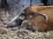 Stock Image : Wild boar