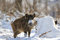 Stock Image : Wild boar in winter