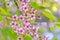 Stock Image : Wild Himalayan Cherry