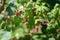 Stock Image : Wild Montana Raspberries
