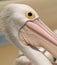 Stock Image : Wild Pelican Head In Australia