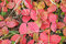 Stock Image : Wild strawberry leaves turn red