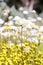 Stock Image : Wildflowers - Everlastings