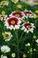 White and brown Chrysanthemum