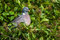 Stock Image : Wood Pigeon (Columba palumbus)