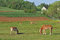 Stock Image : Work horses feeding on an Amish farm