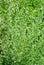 Stock Image : Wormwood (Artemisia absinthium L.)