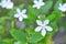 Stock Image : Wrightia antidysenterica
