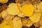 Stock Image : Yellow Aspen Leaves
