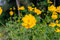 Stock Image : Yellow Cosmos flower