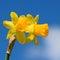 Stock Image : Yellow daffodil