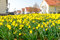 Stock Image : Yellow daffodils flower bed