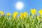 Stock Image : Yellow daffodils in spring sun