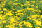 Stock Image : Yellow daisies