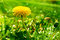 Stock Image : Yellow dandelion flower in a green grass
