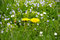 Stock Image : Yellow dandelion flowers  in green grass