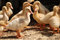 Stock Image : Yellow ducklings