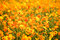 Stock Image : Yellow flowers
