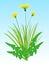 Stock Image : Yellow flowers of dandelion