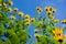 Stock Image : The yellow flowers of Jerusalem Artichoke plants