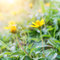 Stock Image : Yellow flowers with morning sunlight in spring time