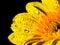 Stock Image : Yellow gerbera with dew drop