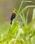 Stock Image : Yellow-hooded Blackbird
