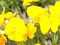 Stock Image : Yellow Impatiens