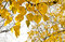 Stock Image : Yellow leaves