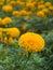 Stock Image : Yellow Marigold flower