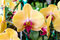 Stock Image : Yellow orchid flowers