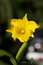 Stock Image : Yellow orchid