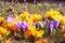 Stock Image : Yellow and purple spring crocus