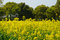 Stock Image : Yellow Rape Flowers