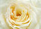 Stock Image : Yellow rose