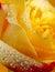 Stock Image : Yellow rose
