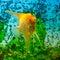 Stock Image : Yellow scalare (Pterophyllum scalare)