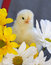 Stock Image : Yellow Spring Chick