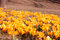 Stock Image : Yellow  spring crocus