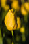 Stock Image : Yellow tulips in flower in field