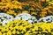 Stock Image : Yellow and white chrysanthemum flower