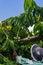 Stock Image : Ylang-Ylang harvest