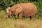 Stock Image : Young Elephant, Addo Elephant National park, South Africa