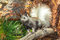 Stock Image : Young Kaibab Squirrel