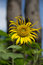 Stock Image : Young sunflower with tall trees behind